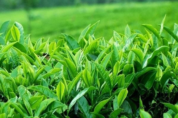 giảm cân bằng uống trà xanh